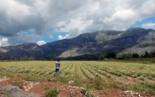 Posadite smilje i lavandu – zaradite na dva hektara 200 000 KM